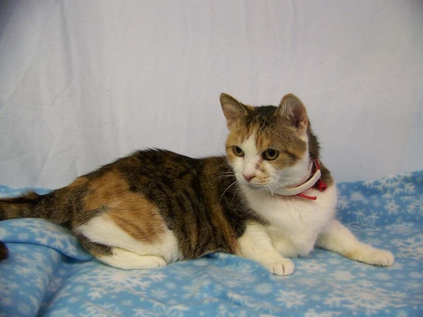 02-09-16 13022 OLIVIA calico cat