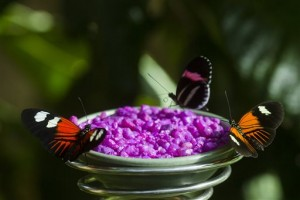 Butterflies sit by rocks at the butterfly exhibit Tuesday, Feb. 23, 2016, at Frederik Meijer Gardens and Sculpture Park in Grand Rapids, Mich. (Nick Gonzales/Jackson Citizen Patriot via AP) LOCAL STATIONS OUT; LOCAL INTERNET OUT; MANDATORY CREDIT