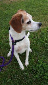 2016 Aug 17 Willow beagle